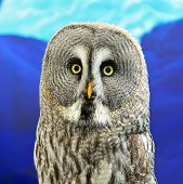 pic of laplander  - Portrait of Great Grey Owl or Lapland Owl  - JPG