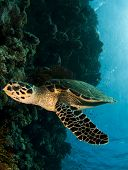 stock photo of hawksbill turtle  - hawksbill sea turtle, a critically endangered species