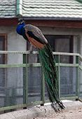 Indian Peafowl, Peacock, Bird Of Juno, Pavo Cristatus