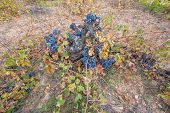 pic of neglect  - Wide angle view of neglected Vineyards with bunch of grapes - JPG