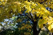 pic of linden-tree  - Colorful autumn linden tree with yellow leaves in autumn fores - JPG