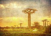 pic of baobab  - Highly detailed vintage image of Baobabs avenue Madagascar - JPG
