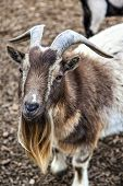 stock photo of billy goat  - A cute bearded goat staring at camera - JPG
