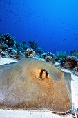 pic of sting  - big feather tail sting ray resting on the sand - JPG