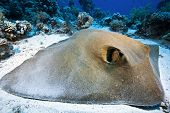 stock photo of sting  - big feather tail sting ray resting on the sand - JPG