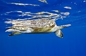 stock photo of endangered species  - hawksbill turtle - JPG