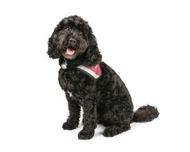 pic of cockapoo  - Picture of a Black Cockapoo sittingon a white background - JPG