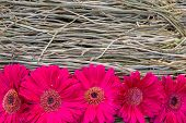 image of gerbera daisy  - Beautiful gerbera daisy flower on the root orchid decoration with copy space - JPG