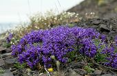 foto of chukotka  - Flowers Pedicularis in the tundra of Chukotka - JPG