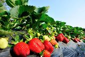 picture of strawberry plant  - strawberry  plants in growth at field under sky - JPG