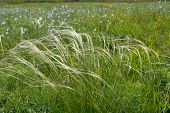 pic of flax plant  - The feather grass  - JPG