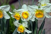 stock photo of narcissi  - Daffodils closeup - JPG