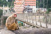 image of macaque  - Indian Macaque monkeys at Laxman Jhula bridge Rishikesh India - JPG