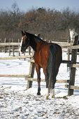 picture of bay horse  - Warm Blood Bay Horse Standing In Winter Corral Rural Scene - JPG