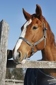 picture of chestnut horse  - Side view portrait of a beautiful young chestnut horse - JPG