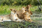 pic of african lion  - Lion in the African savannah Masai Mara - JPG