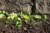 pic of primrose  - Spring blossoms between the stones with primroses - JPG