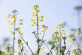 picture of biodiesel  - GMO rapeseed plants on a huge field for production of biodiesel - JPG