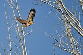 stock photo of tail  - Red-Tail Hawk Flying Up To Its Nest ** Note: Soft Focus at 100%, best at smaller sizes - JPG