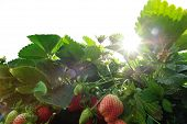 stock photo of strawberry plant  - closeup of strawberry fruits in growth at sunrise garden - JPG