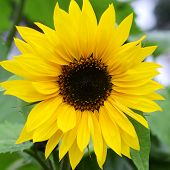 pic of sunflower  - Big beautiful sunflowers growing in garden - JPG