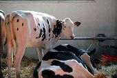 foto of husbandry  - big cows in the barn of the farm in animal husbandry - JPG