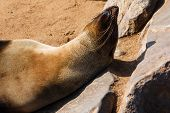 image of sun-tanned  - Cape fur seal warming up and tanning in the sun with head on a stone - JPG