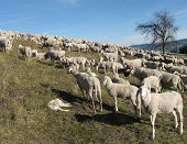 foto of counting sheep  - large flock with many sheep grazing in the mountain - JPG