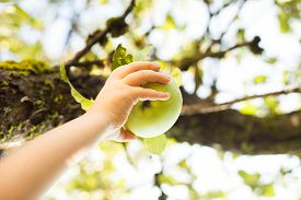 picture of garden eden  - Child hand picking green apple from a tree in summer - JPG