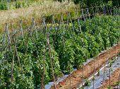 stock photo of green-beans  - Pole green beans  - JPG
