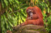 image of orangutan  - Orangutan in the Singapore Zoo at the tree - JPG