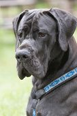 stock photo of great dane  - Portrait of Great Dane dog with black hair which is sitting outdoors - JPG
