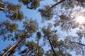 picture of bottom  - Pine tree forest in sunlight - JPG