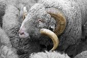 picture of ram  - The portrait of a ram among the flocks of sheep - JPG