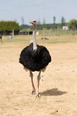foto of ostrich plumage  - African Ostrich on a pasture in Brandenburg - JPG