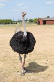 image of ostrich plumage  - African Ostrich on a pasture in Brandenburg - JPG