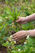 foto of weed  - hands weeding the strawberries in the garden - JPG