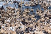image of marshes  - Duck in farm eat and swimming in marsh - JPG