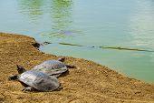 stock photo of turtle shell  - Nile soft - JPG