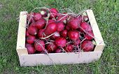 pic of radish  - Red radishes in a wooden box on the grass - JPG
