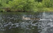 picture of clutch  - Duck with her clutch swimming in the pond in summer - JPG