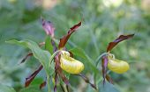 picture of yellow orchid  - Side view of two plants of yellow and brown Lady - JPG
