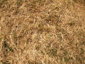 foto of dry grass  - Top view of dry grass in the meadow with a few blades of grass green - JPG