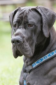 picture of great dane  - Portrait of Great Dane dog with black hair which is sitting outdoors - JPG
