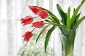 Vase of coral tulips next to a window with voile curtains.  Springtime blossoms in soft focus in the