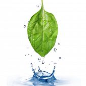 green spinach leaf with water drops and splash  isolated on white