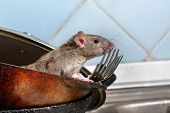 Close-up Young Rat (rattus Norvegicus) Looks Out Of The Dirty Pan With Forks On Background Of Blue T poster