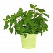 foto of citronella  - Lemon balm herb plant in a green metal pot isolated over white background - JPG