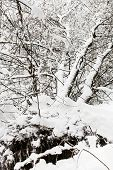 Broken Snow-covered Tree In Snowy Forest Of Timiryazevskiy Park Of Moscow City In Overcast Winter Da poster
