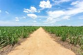 Dirt Road Go Into The Farm Between Sugarcane Farm Field, Agriculture Industrial, Plantation For Harv poster